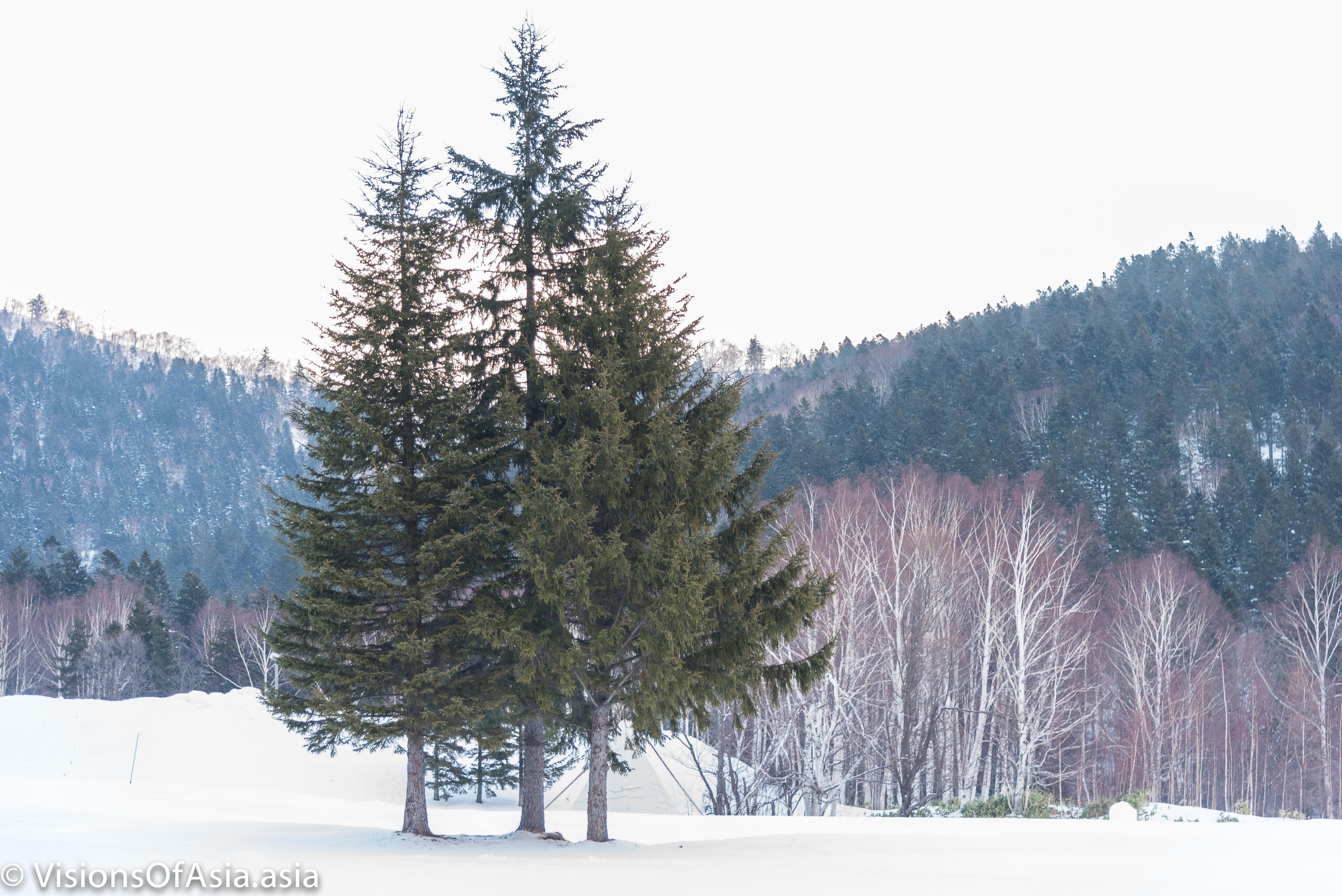Fir trees in Tomamu