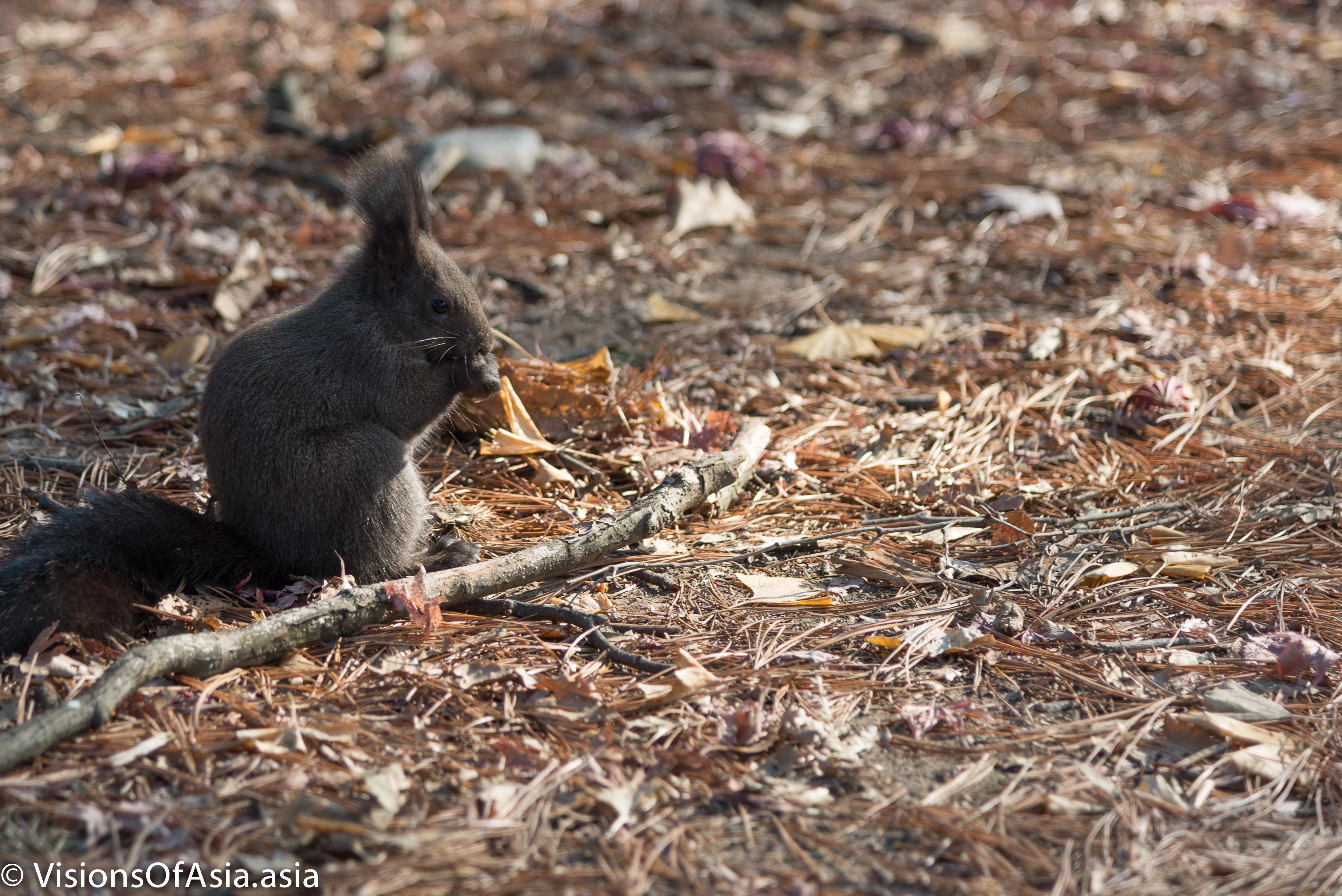 Squirrel on Nami Island